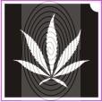 Kender, cannabis levél (csss0052)
